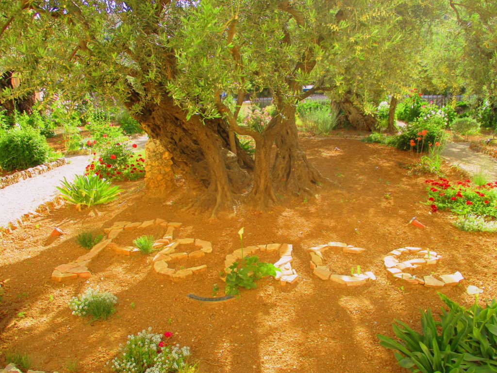Jardín Getsemaní Jerusalen Lugares de la Biblia Hoy